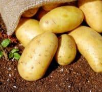 kartofler på jord